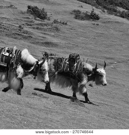 Yaks Near Namche Bazar Mount