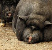 Pot-bellied Vietnamese pig pair sow and hog