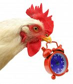 Cock chanticleer rooster is carrying red alarm clock