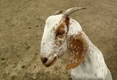 stock photo of anglo-nubian goat  - Goat with big ears - JPG