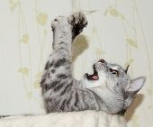 Humorous Photo Of Playing Naughty Cat. Playing Cat Isolated In Natural Background. poster
