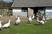 Geese In A Farmer'S Garden