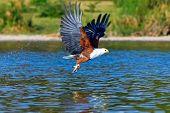 Eagle Fisher. Eagle With Prey Over The Lake. Naivasha Lake, Kenya. (rev.2) poster