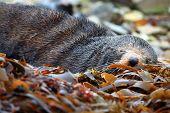 cute sleeping wild seal at Seal colony Kaikoura New Zealand