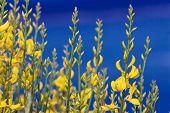 Retama, Spartium junceum flores en el cielo azul en Francia
