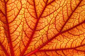 background of red geranium leaf, look likes human veins