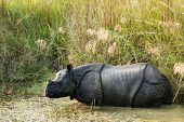 Wild Nashorn Unicornis in Chitwan National Park, nepal