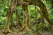 large fig tree roots in tropical rainforest, kaeng krachan national park, thailand