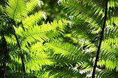 Sun Shining On Fern Leaves At Maits Rest Rainforest Trail, Great Otway National Park, Australia