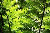 Sun Shining On Fern Leaves At Maits Rest Rainforest Trail, Great Otway National Park, Australia