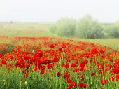 Red poppy and fog