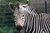 Grevy'S Zebra Portrait