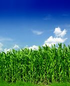 image of biodiesel  - Corn field - JPG