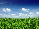 pic of biodiesel  - Corn field - JPG