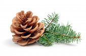 Pine tree branch with cone isolated on white poster