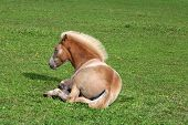 Resting Filly