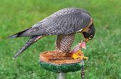 Peregrine Falcon (Falco peregrinus) Feeds On Perch