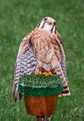 American Kestrel (Falco sparverius) Looks Up From Perch