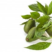 Frutas de frontera de aguacate con hojas jóvenes de árbol de aguacate, aislado en blanco