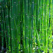 Bamboo like looking, rough horse tail also known as scouring rush , or  snake grass (Equisetum hyema