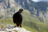 Crow in the wind on a mountain top