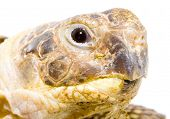 stock photo of testudo  - head and face of a tortoise  - JPG