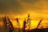picture of bulrushes  - The bulrushes against sunlight over sky background in sunset