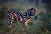 Burchell's Zebra