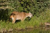 Cougar in the Underbrush