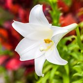 image of easter lily  - A beautiful Easter lily growing in a Bermuda garden - JPG