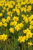 Spring Daffodils Background