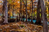 image of guadalupe  - Stunning Fall Colors of Texas Bald Cypress Trees Surrounding the Crystal Clear Texas Hill Country Guadalupe River - JPG