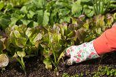 Planting Salad Seedlings