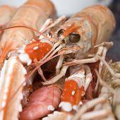Nephrops Norvegicus Or Norway Lobster 19