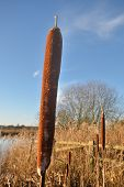 bulrush in winter with blue sky