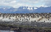 King Cormorant colony, Argentina