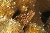 Goldentail Moray - Bonaire