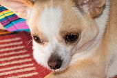 foto of snot  - Small dog chihuahua with snot in its nose - JPG