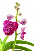 Vanda Pink Orchids