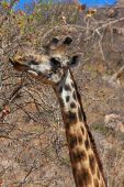 Giraffe Eating Bush