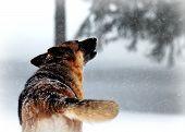 German Shepherd Dog Howling in Winter Snow