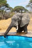 Elephant drinks water from swimming pool