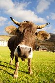 pic of perversion  - distorted brown cow on green grass and blue sky background - JPG