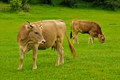 pic of calf cow  - Cow lick itself and calf graze on the grass with yellow flowers in the summer - JPG