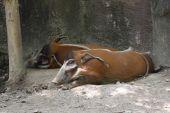 Wart Hog
