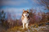 beautiful siberian husky dog