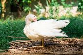 White Duck On A Green Grass