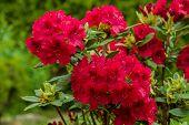 Rododendro Bush