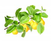 Yellow Pears On Green Branch