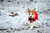 Parson Jack Russell In Red Winter Coat Running In Snow